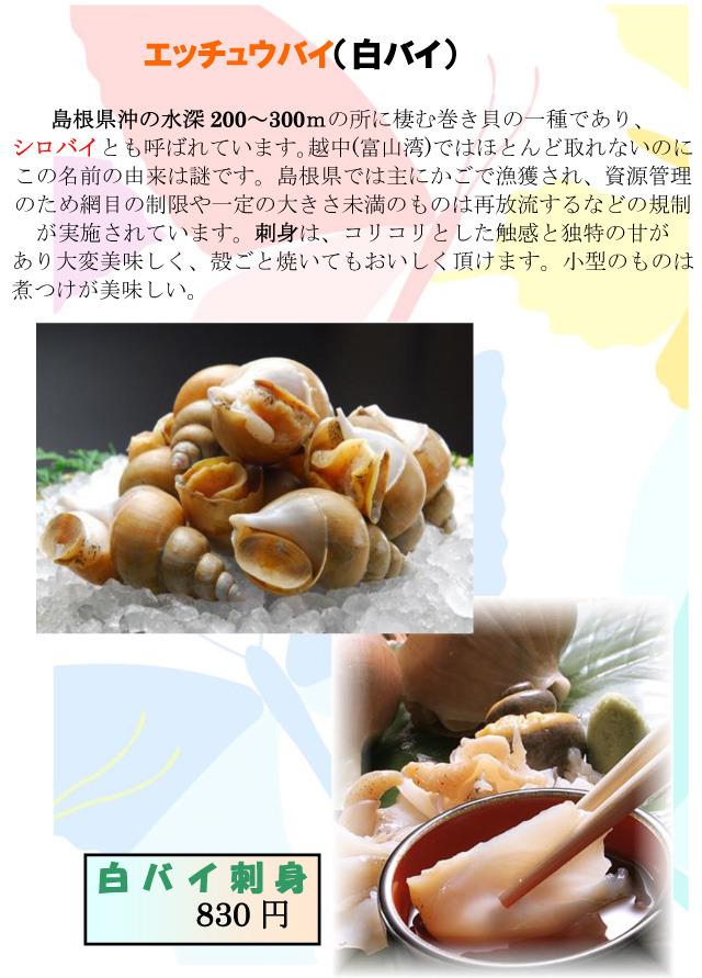 白バイ しろばい 貝